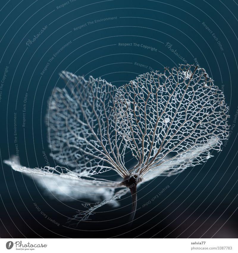 Blütenstruktur einer Hortensie Makro Natur Freisteller Hintergrund neutral Farbfoto Pflanze Menschenleer Textfreiraum oben Schwache Tiefenschärfe