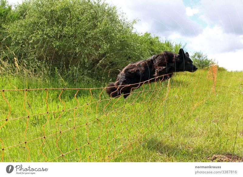 Hund springt über einen Zaun hund sprung springen zaun hütehund absperrung hindernis wachhund wiese action trainieren spaß schwarz Außenaufnahme Farbfoto