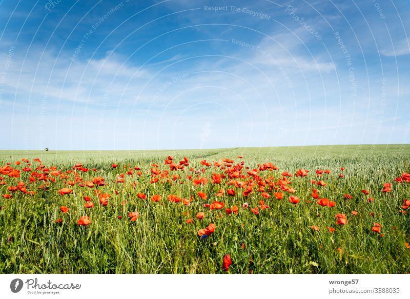 Blühender Mohn am Feldrand (Insel Rügen) Sommer Kornfeld Getreidefeld Mohnblüten Außenaufnahme Farbfoto Menschenleer Natur Tag Landschaft Schönes Wetter Blüte