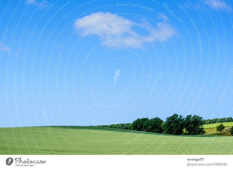 Grünes hügeliges Feld unter blauen Himmel mit ein paar wenigen Wolken grün Kornfeld Frühsommer Frühling wachsen Natur Getreide Landschaft Nutzpflanze