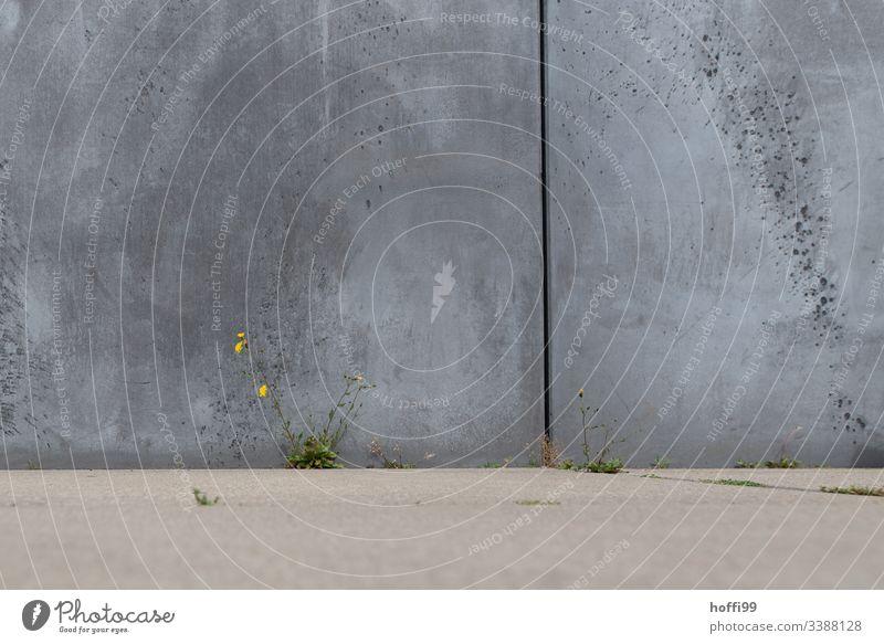 zaghafte Pflanze in Betonwüste Betonmauer Hintergrund neutral Betonwand Strukturen & Formen Minimalismus Umwelt Löwenzahn Löwenzahnblüte Symmetrie modern Linie