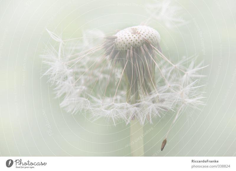 vom Winde verweht Natur grün weiß Pflanze Blume Umwelt Wiese Frühling Blüte Garten natürlich Park frei weich Hoffnung Lebensfreude