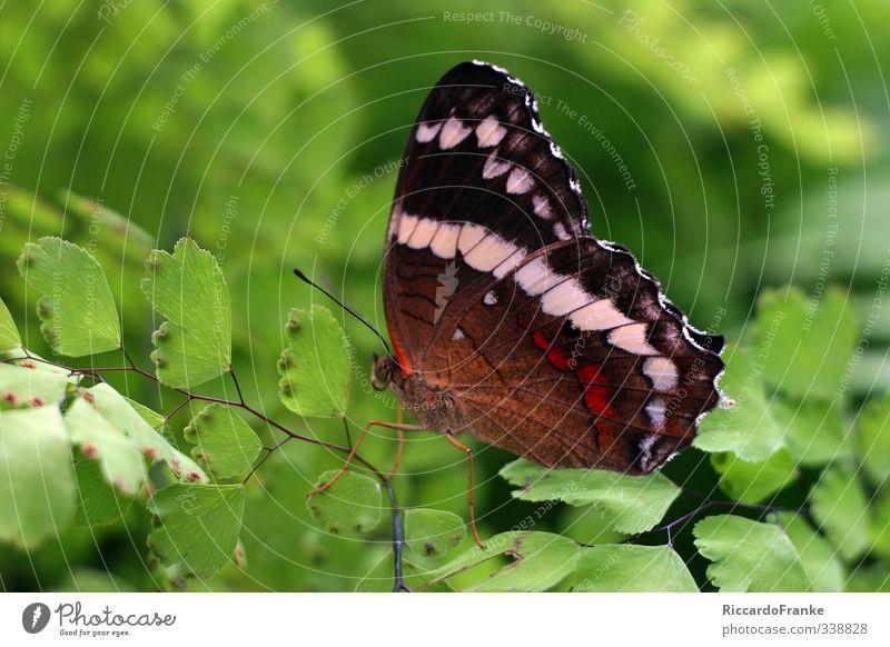 Schmetterling Tier Wildtier 1 sitzen ästhetisch exotisch nah schön braun grün rot schwarz weiß Lebensfreude ruhig Selbstbeherrschung elegant Freiheit Idylle