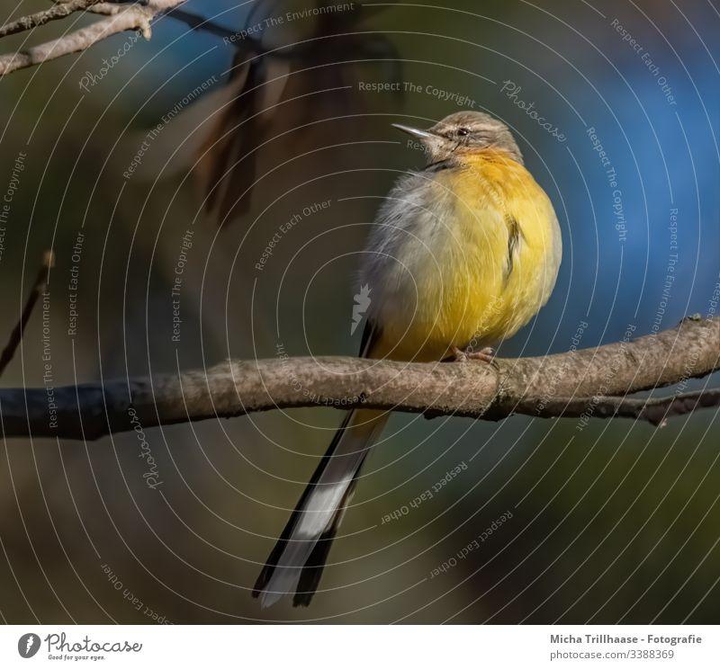 Gebirgsstelze im Sonnenschein Motacilla cinerea Kopf Schnabel Auge Federn Gefieder Beine Krallen Flügel Schwanzfedern Zweige u. Äste Tier Vogel Wildvogel