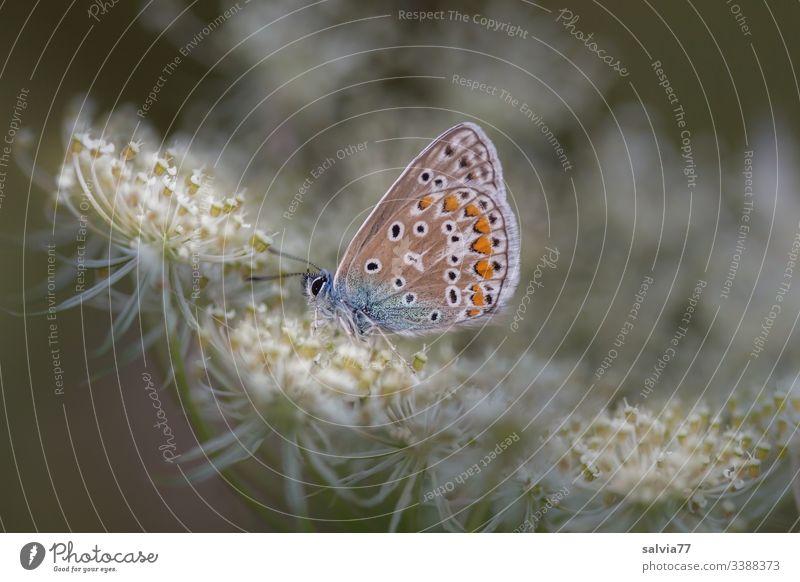 kleiner Falter sitzt auf Blütendolde Natur Pflanze Blume Makroaufnahme Farbfoto Nahaufnahme Doldenblüte Wilde Möhre Bläulinge Schmetterling Insekt Lepidoptera