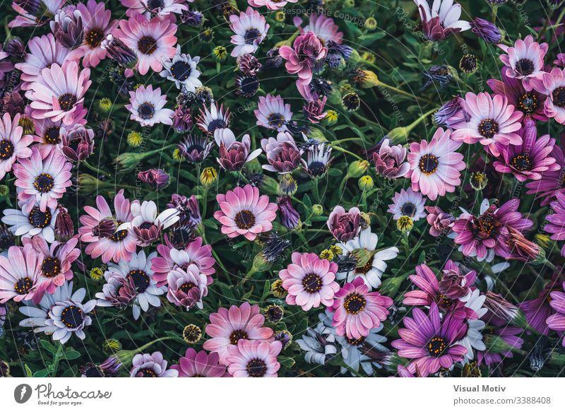 Blüten der Osteospermum 'Soprano Purple', allgemein bekannt als afrikanische Gänseblümchen oder Kap-Gänseblümchen Blütenpflanze Blume Pflanze Zerbrechlichkeit