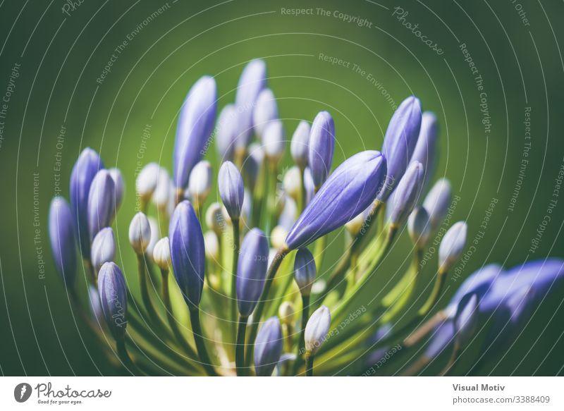 Vorblühende Blume der afrikanischen Lilie, auch bekannt als Agapanthus bressingham blue Afrikanische Lilie Blütenpflanze Pflanze Zerbrechlichkeit Verwundbarkeit