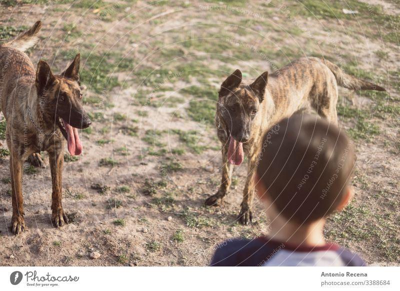 Junge spielt im Garten seines Hauses mit zwei belgischen Schäferhunden Spiele Hunde Kind belgien Gefahr Tier Haustier 4s 5s Kinder Hinterhof im Freien Frühling