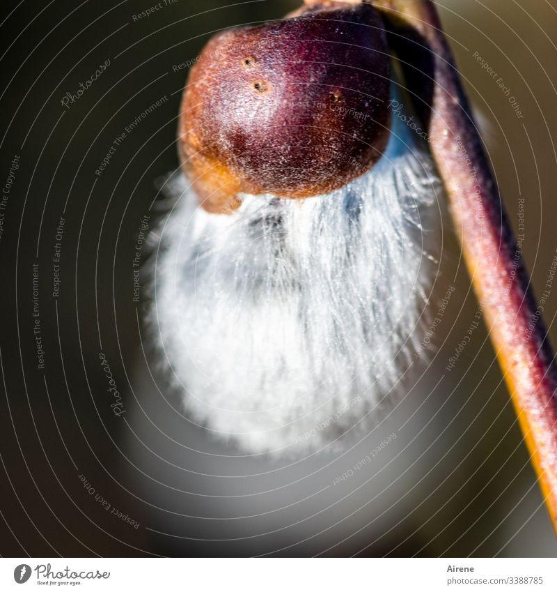 flauschiges Kätzchen Palmkätzchen Weidenkätzchen weich Frühling Frühlingsblume Frühlingsgefühle Frühblüher Pflanze Außenaufnahme Natur Ostern OIsterdeko