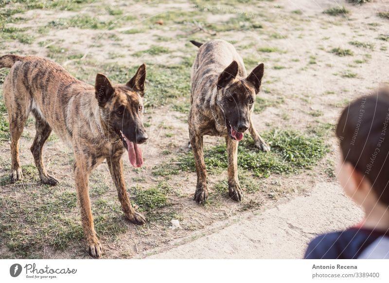 Kleines Kind in die Ecke gedrängt oder mit zwei Hunden spielend Junge Spiele belgien Schäfer Gefahr Tier Haustier 4s 5s Kinder Hinterhof im Freien Frühling