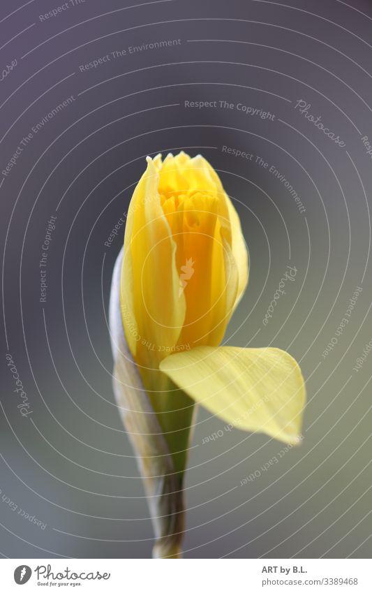 Narzisse osterglocke blume blüte knospe frühling gelb grün aufblühen natur nahaufnahme Pflanze Blüte Farbfoto Blühend Menschenleer frühblüher blütenblatt