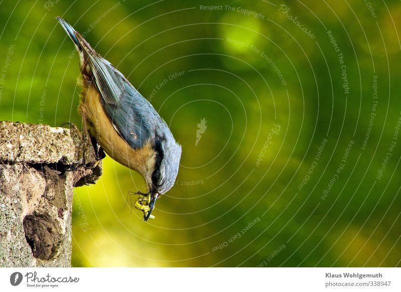 Kinder, es gibt Frühstück! Eltern Erwachsene Mutter Vater Kopf Auge Fuß Umwelt Natur Tier Frühling Garten Park Wald Vogel Krallen Kleiber 1 füttern blau gelb