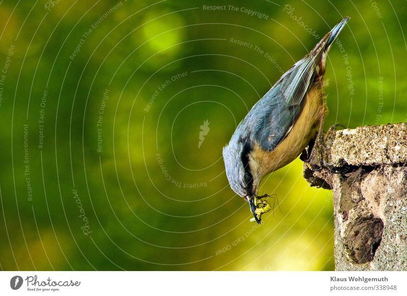 Textfreiraum : links Tier Frühling Sommer Garten Park Wald Wildtier Vogel Kleiber 1 füttern blau gelb gold grau grün Nistkasten Futter Insekten Wurm Farbfoto