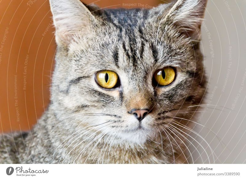 Katzenportrait mit gelben Augen katzenhaft Haustier Tier Streifen grau Säugetier Oberlippenbart Schnurrbart Backenbart Koteletten