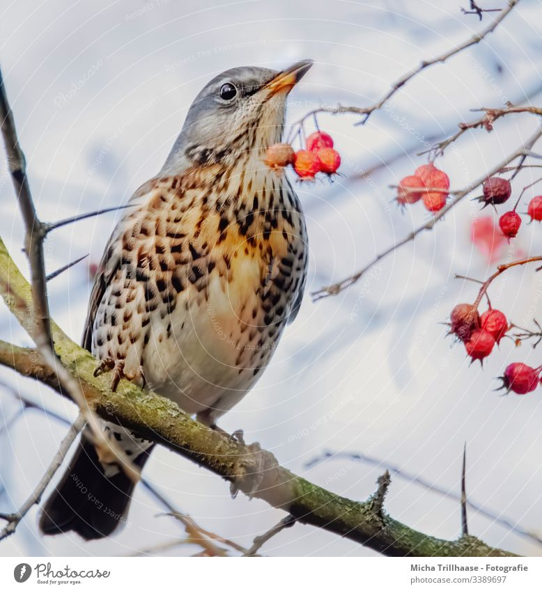 Drossel im Baum Wacholderdrossel Vogel Tier Wildtier Tiergesicht Auge Schnabel Gefieder Federn Natur Kopf Flügel Zweige u. Äste Schönes Wetter Porträt