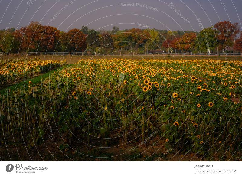 Sonnenblumenmeer Sonnenlicht Blumenfeld Blumenbeet Herbst herbstlich Baum Bäume Feldarbeit Außenaufnahme Natur Menschenleer Licht Spätsommer Altweibersommer