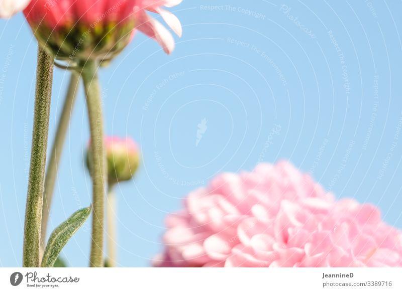 unscharfe Blume vor Himmel Blüte Pflanze Nahaufnahme rosa Frühling Hintergrund neutral Schwache Tiefenschärfe Menschenleer Blühend Sommer zart schön duftend