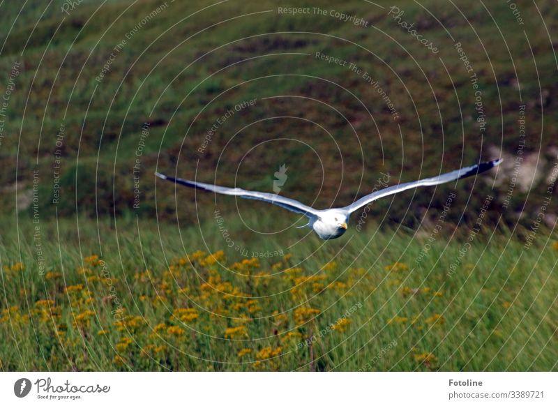 Tiefflug - oder eine Möve fliegt dicht über einer Wiese direkt auf mich zu. Vogel fliegen Flügel Möwe Lachmöwe Feder Schnabel Tier Natur Ornithologie grün weiß