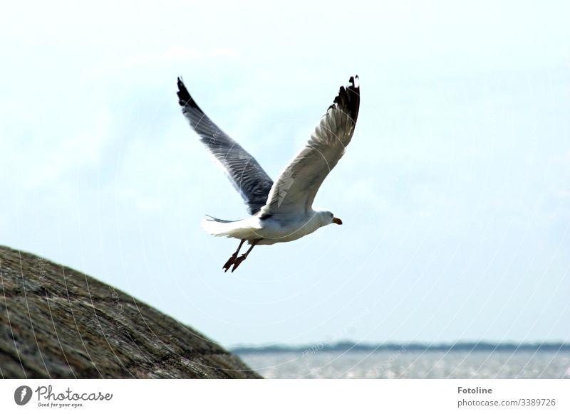 Ich hole mir Frühstück - oder eine Möve fliegt mit ausgebreiteten Flügeln von einem Steindamm los in Richtung Meer Vogel Himmel fliegen blau Freiheit weiß Feder
