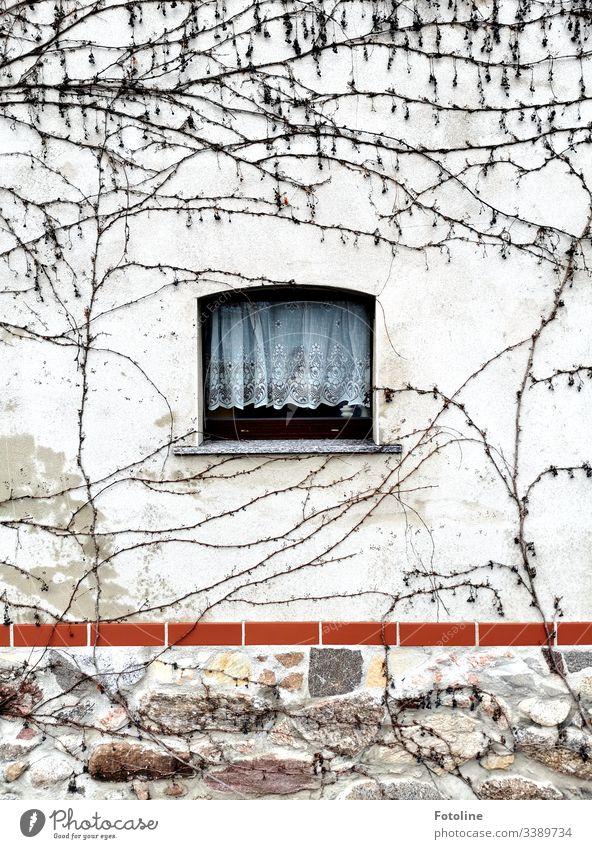 Ein kleines Fenster mit Gardiene in einer mit wildem Wein bewachsenen Mauer im Winter Architektur Haus Fassade Gebäude Menschenleer Farbfoto Außenaufnahme Tag