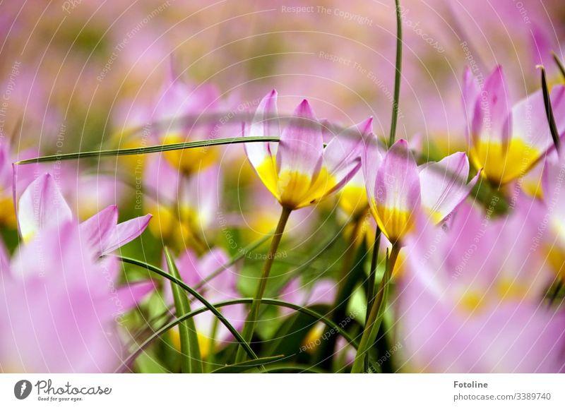 Tulpe Lilac Wonder Licht violett Blume Blüte grün Tulpenblüte Farbfoto Pflanze Menschenleer Frühling Blühend Blatt Tag Natur rosa weiß gelb leuchten Umwelt