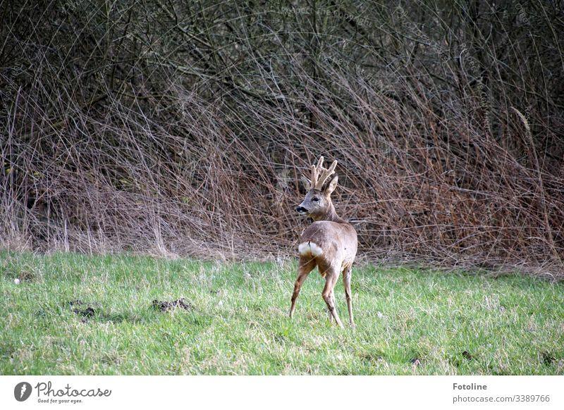 junger Rehbock auf einer Wiese vor dem Gestrüpp Wildtier Tier Außenaufnahme Farbfoto Natur Menschenleer Tag Umwelt natürlich grün Gras braun frei stehen Geweih