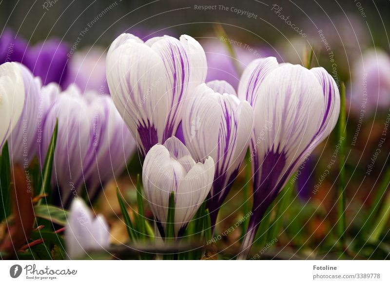 Krokusse Frühling Blume Blüte violett Natur Pflanze Farbfoto Außenaufnahme Nahaufnahme Blühend Garten Menschenleer Schwache Tiefenschärfe Frühlingsgefühle Tag