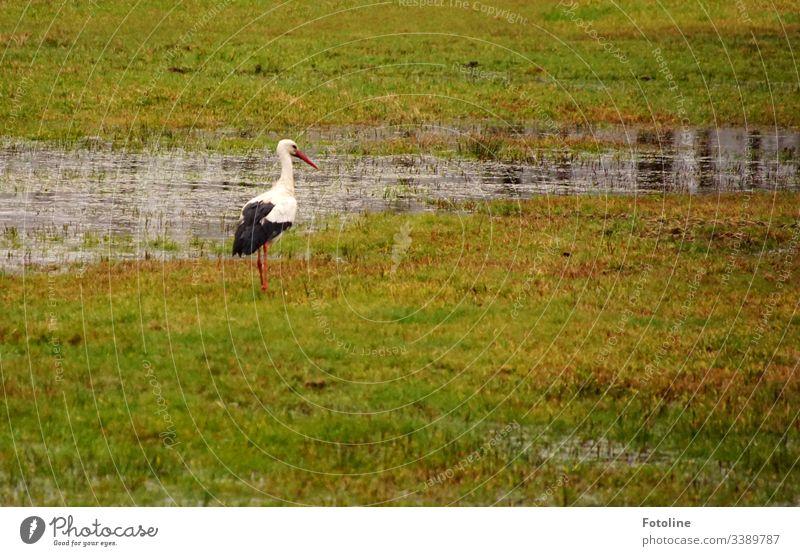 Storch auf einer Wiese die unter Wasser steht Vogel Tier Außenaufnahme Farbfoto Wildtier Tag Natur Menschenleer Tierporträt Umwelt weiß Weißstorch Schnabel