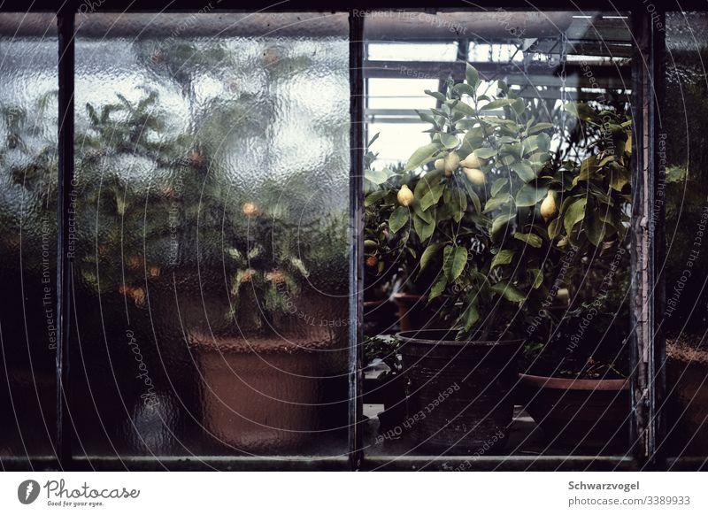 Zitronenpflanzen in einem Gewächshaus Zitrusfrüchte Lebensmittel frisch Vitamin Frucht gelb Scheibe opak wachsen Gärtnerei Wachstum Pflanze ruhig Stimmung grün