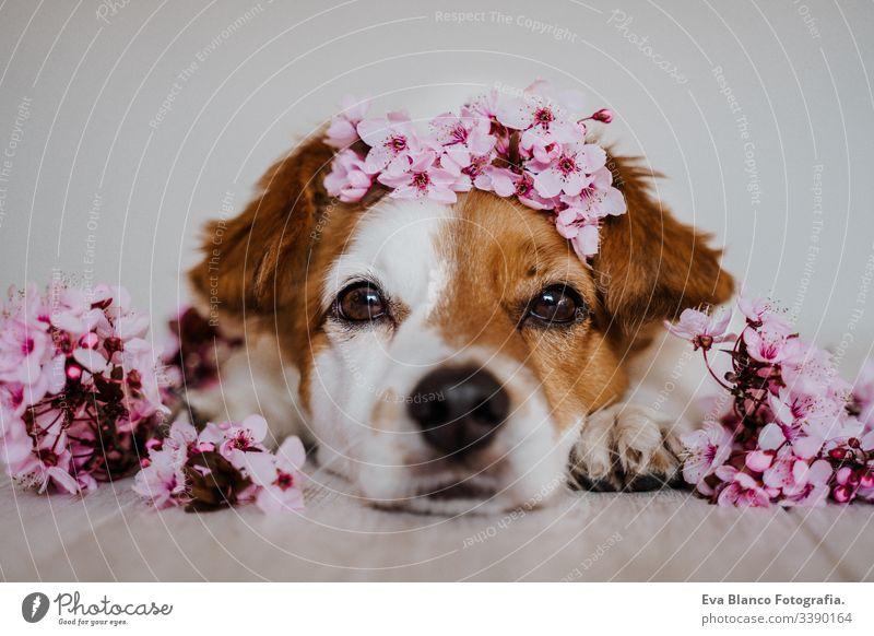 porträt des süßen jack russell hundes, der sich zu hause mit einem schönen mandelbaumblütenkranz entspannt. frühlingskonzept Hund Haustier niedlich Krone