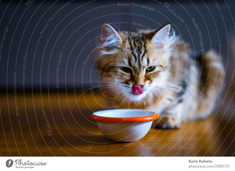 Naschkatze Katze Kätzchen Tier Haustier Farbfoto Tierporträt mehrfarbig niedlich schön Tierjunges Innenaufnahme Tiergesicht hungrig Zunge Menschenleer Tag Fell