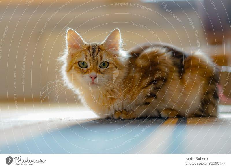 Sibirische Waldkatzen Katze Kätzchen Tier Haustier Farbfoto Menschenleer Tierporträt niedlich Tierjunges Blick in die Kamera Tiergesicht Neugier Innenaufnahme