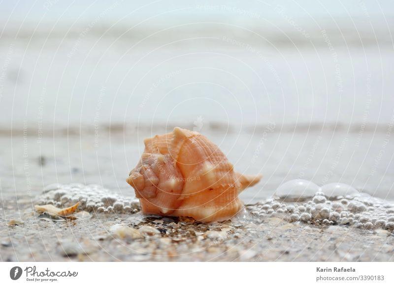 Muschel in der Brandung Meer Sandstrand Wasser Strand Küste Farbfoto Außenaufnahme Wellen Ferien & Urlaub & Reisen Menschenleer Sommer nass ruhig Schönes Wetter
