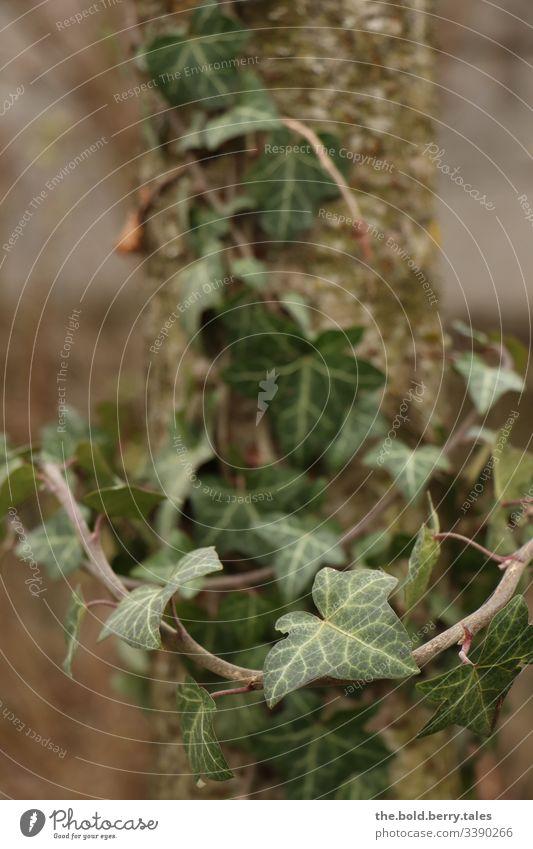 Efeuranke mit Baumstamm Pflanze efeuranke Efeublatt grün Natur Außenaufnahme Farbfoto Menschenleer Tag Blatt Grünpflanze Wachstum Licht Schwache Tiefenschärfe