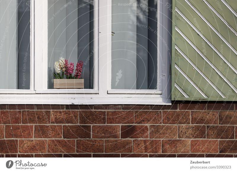 Hyazinthen im weißen Fenster mit grünem Fensterladen an roter Ziegelwand Blume Topfblume Fensterrahmen ziegelrot lindgrün Wand Backstein Ordnung bescheiden
