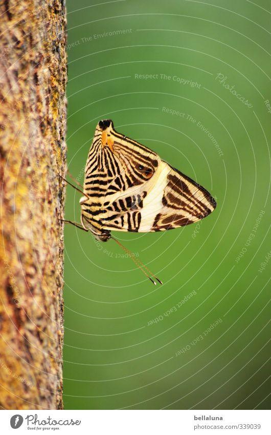 Abwärts Pflanze Baum Gras Sträucher Wiese Tier Wildtier Schmetterling 1 sitzen braun grün schwarz weiß Teneriffa Erholung schlafen Pause Farbfoto mehrfarbig