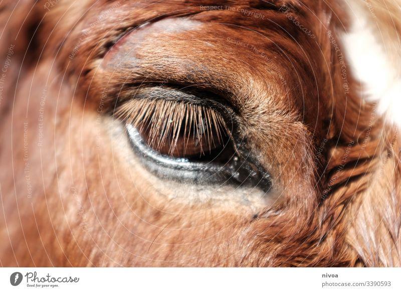 verletztes Pferdeauge Island Ponys Verletzung Auge Detailaufnahme blesse Tier Farbfoto Außenaufnahme Tag 1 Tierporträt Nutztier Natur Wildtier Tiergesicht