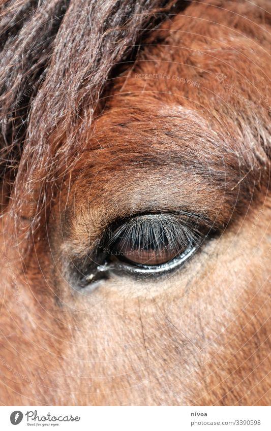 Pferdeauge Island Ponys Detailaufnahme Auge Tier Farbfoto Außenaufnahme Tag 1 Tierporträt Nutztier Menschenleer Mähne Wildtier natürlich Natur stehen warten