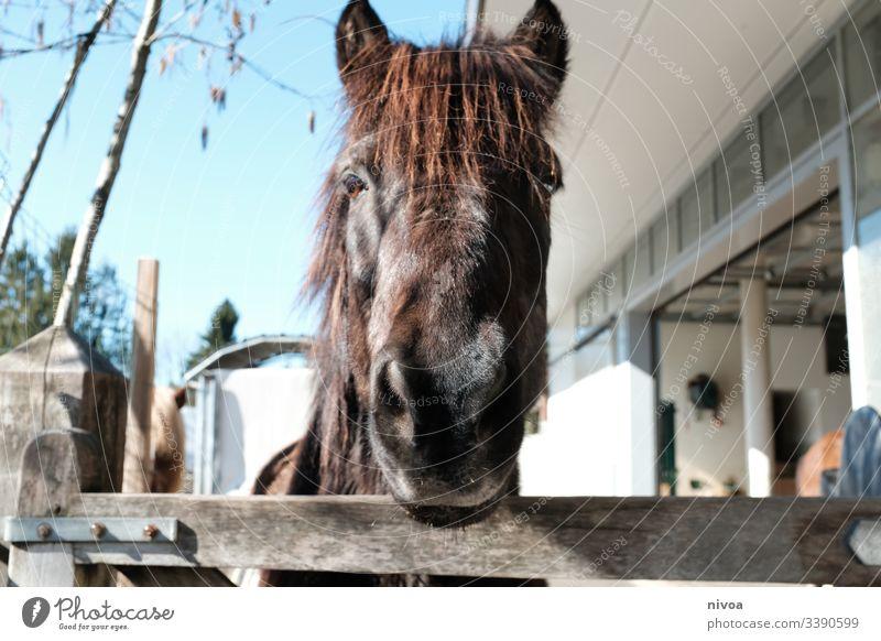 Islandpferd schaut über Zaun Island Ponys Pferd Stall Weide Pferdekopf Rappe Schecke Kopf Menschenleer Nutztier Tier Außenaufnahme Farbfoto Tierporträt Tag