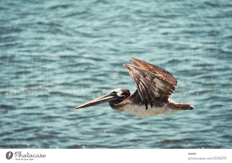 Jumbojet exotisch Ferien & Urlaub & Reisen Sommer Umwelt Natur Tier Urelemente Luft Klima Schönes Wetter Wildtier Vogel 1 fliegen außergewöhnlich blau Pelikan