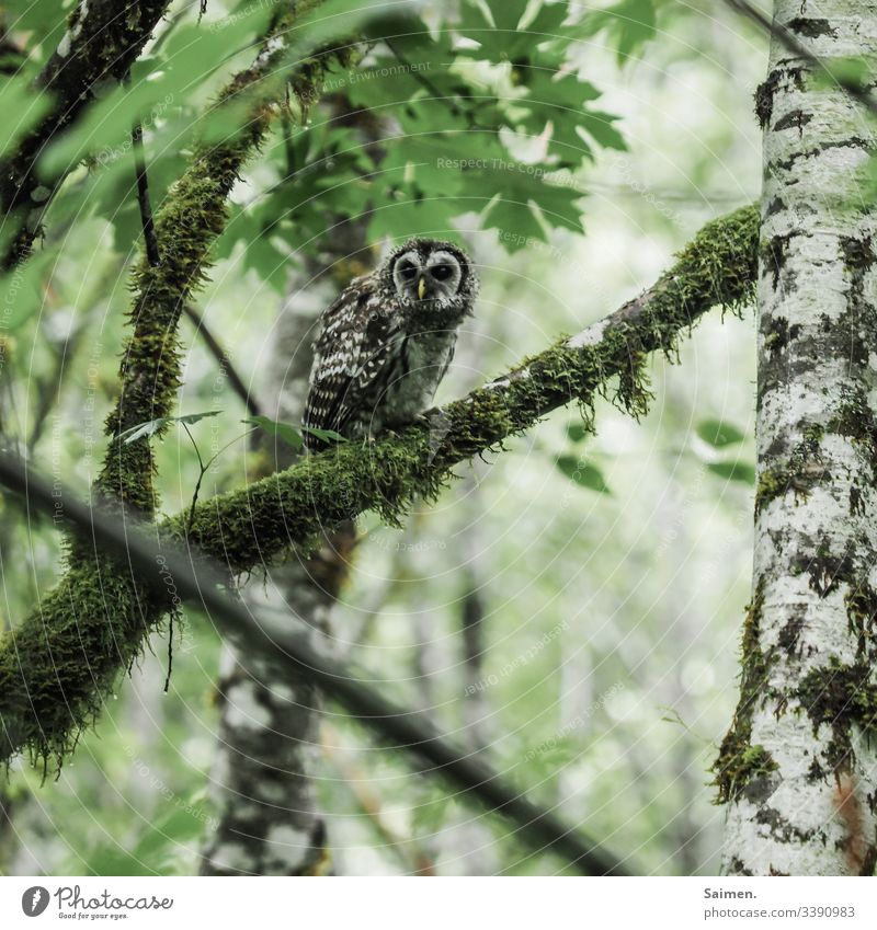 Schräger Kauz kauz Eule vogel Raubtier Stufe Tierportrait schräg zottelig Flecken Nordamerika Amerika Wald baum äste Natur Flora Fauna Lebewesen federn Birken