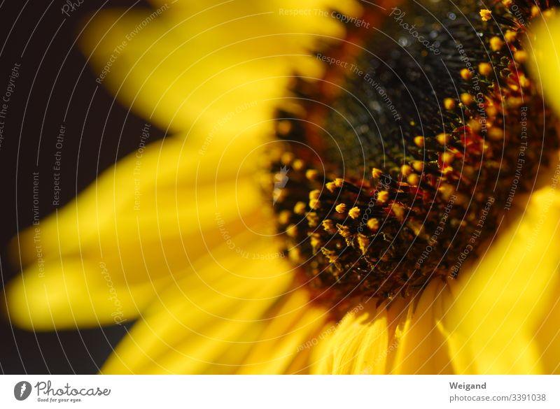 Sonnenblume Blume Samen Sommer gelb Pflanze Außenaufnahme Blüte Detailaufnahme