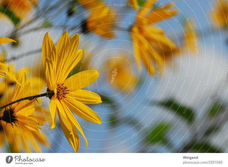 Gelbe Blume Blüte gelb Pflanze Nahaufnahme Natur Blütenblatt