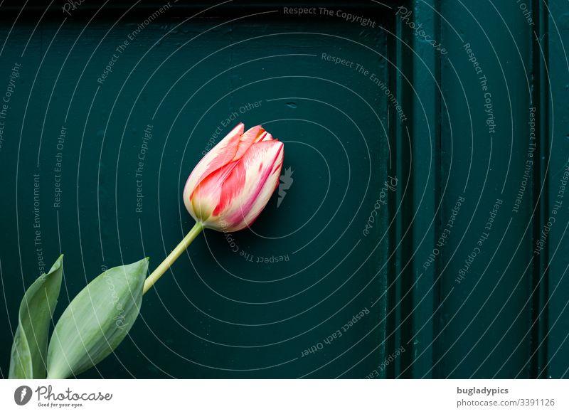 Zweifarbige Tulpe lehnt and dunkelgrüner Holzwand Tulpenblüte Pflanze Garten Gartenpflanzen Vorgarten tulpenstrauß Blume Frühling Natur Tag Blühend