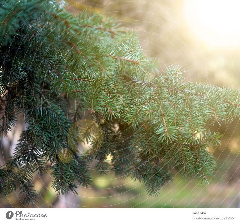 grüner Fichtenzweig in den Strahlen der untergehenden Sonne im Park Ast Baum Tanne Kiefer Natur Saison Immergrün Pflanze Holz Nadel nadelhaltig natürlich Wald