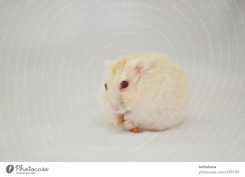 Luna | Frühstück Tier Haustier Totes Tier 1 2 Fressen sitzen weich rot weiß Hamster Rote Augen Mehlwurm Farbfoto Gedeckte Farben Innenaufnahme Nahaufnahme