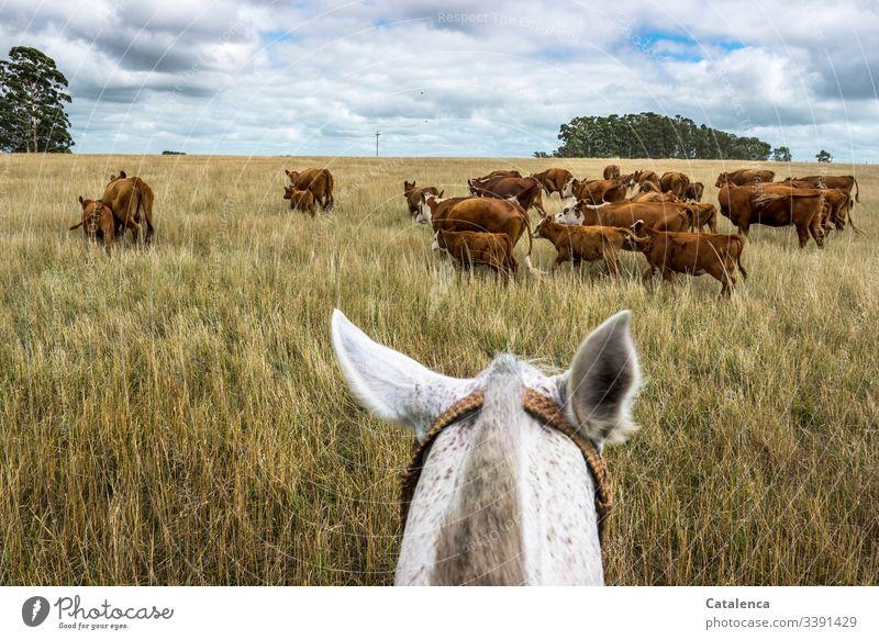 Behutsam treibt der Reiter die Mutterkühe mit ihren Kälbern durch das hohe, trockene Gras vor sich her Blau Braun Grün Sommer Natur Landschaft Pferde Pflanze