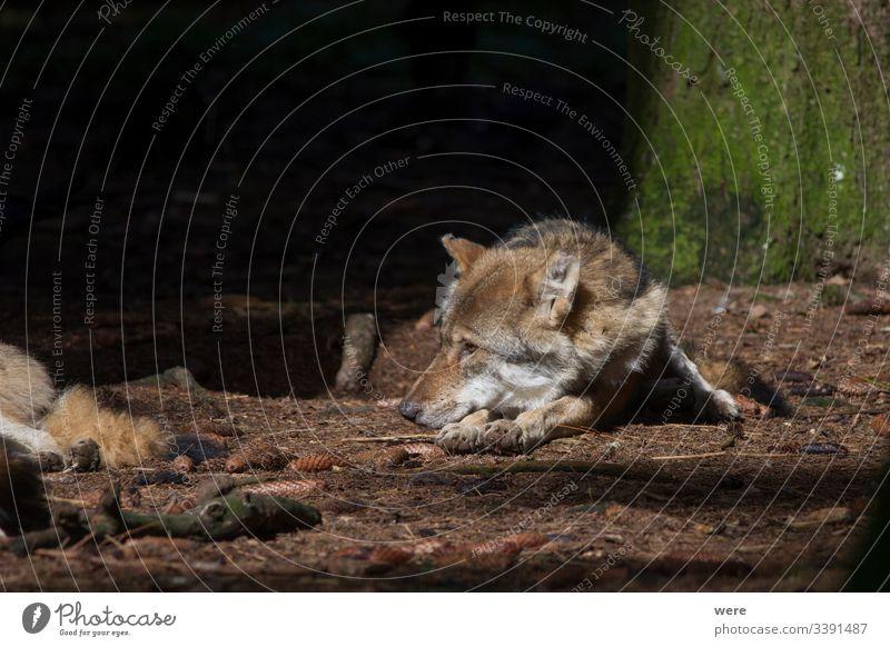 Wölfe ruhen im Sonnenstrahl im Wald Canis lupus schlafen Wolf Tier kuschlig kuschelig weich Gefahr gefüttert Fell Jäger Rauen Natur niemand Rudel friedlich
