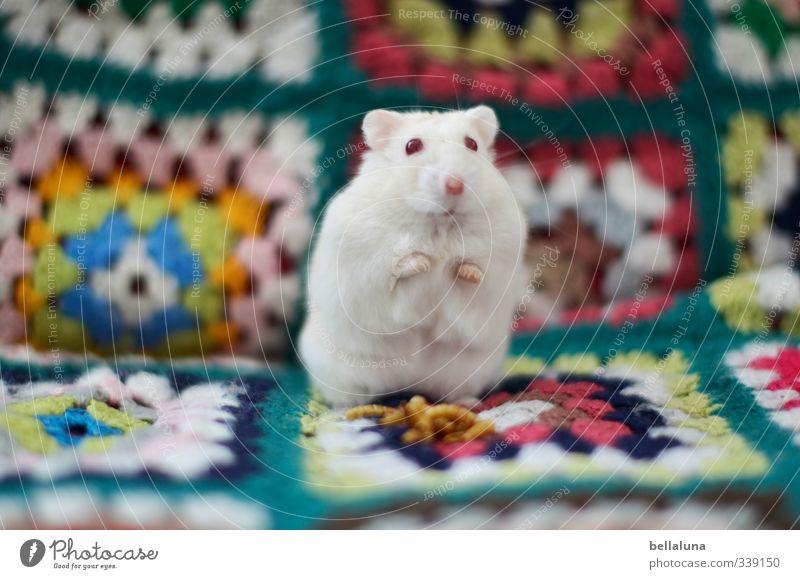 Luna | Patchwork Tier Haustier Tiergesicht Fell Pfote 1 sitzen niedlich blau braun grün orange rot türkis weiß Hamster Albino mehrfarbig schön Farbfoto