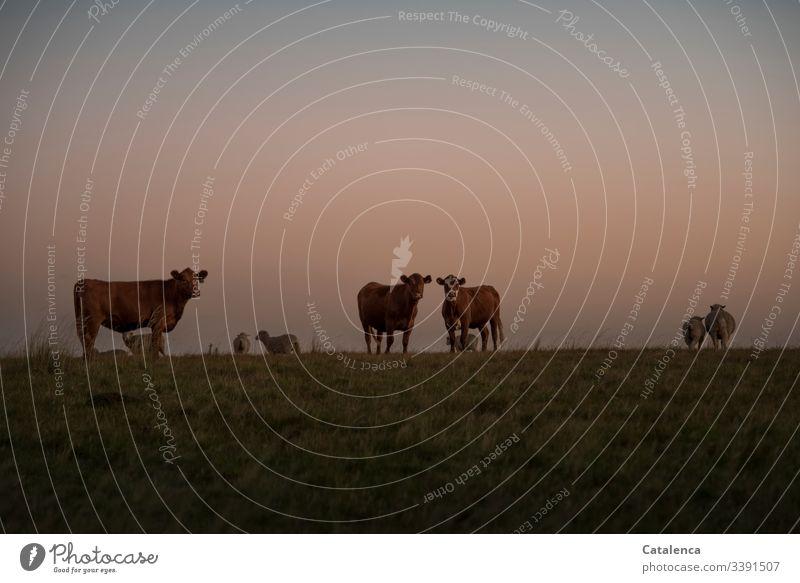 Abends auf der Weide, die Kühe schauen interessiert zu, die Schafe wenden sich ab Fauna Nutztiere Herde Natur Tiergruppe Wiese Dämmerung Himmel Horizont Umwelt